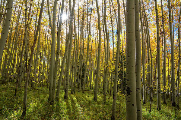 Photograph - Aspen Sunburst by Aaron Spong