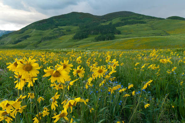 Photograph - Aspen Sunflower And Mountain Landscape by Cascade Colors