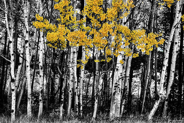 Photograph - Aspen Touch Of Orange by James BO Insogna