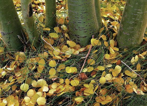 Aspen Tree Boles In Leaves Art Print