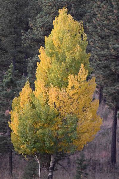 Aspen Tree Fall Colors Co Art Print