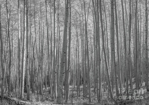 Photograph - Aspen Tree Forest In Autumn Bw by Michael Ver Sprill