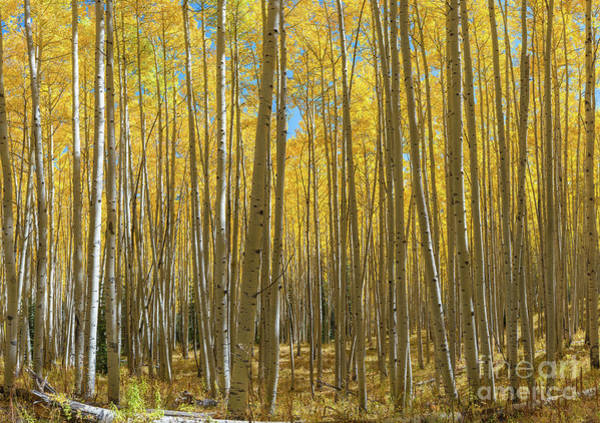 Photograph - Aspen Tree Forest In Autumn  by Michael Ver Sprill