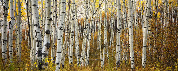 Leafy Greens Photograph - Aspen Tree Grove by Ron Dahlquist - Printscapes