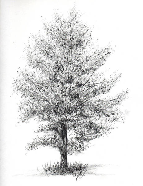 Singh Drawing - Aspen Tree by Swati Singh
