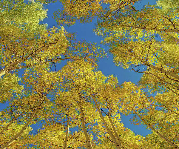 Digital Art -  Aspen Trees Against Sky  by OLena Art - Lena Owens