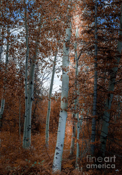 Photograph - Aspen Trees Ryan Park Wyoming by Blake Webster