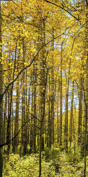 Photograph - Aspen Triptych Panel No. 1  by Bud Simpson