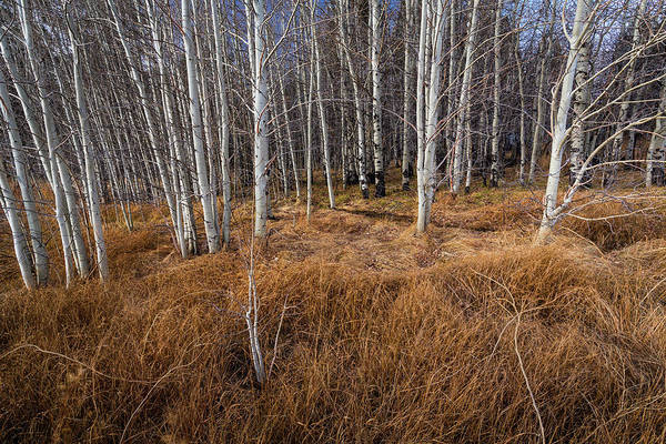 Photograph - Aspen Trunks In The Fall by Rick Strobaugh