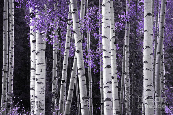 Best Selling Photograph - Aspen Trunks Lavender Leaves by John Stephens