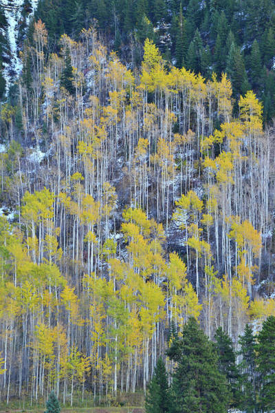 Photograph - Aspens Above Vail Colorado by Ray Mathis