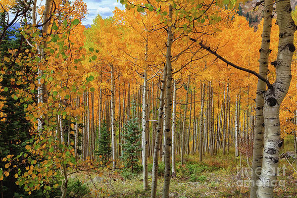 Photograph - Aspens Aglow  by Jaquita Watters