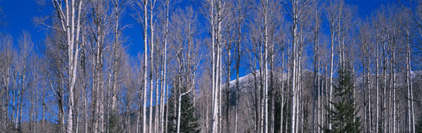 Thicket Photograph - Aspens Az by Panoramic Images