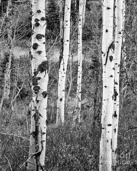 Photograph - Aspens Black And White by David Millenheft