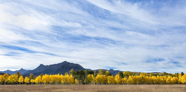 Photograph - Aspens In A Row by Denise Bush