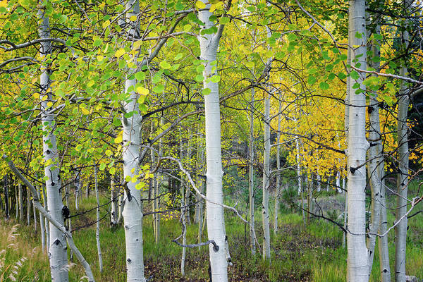 Canopy Photograph - Aspens In Autumn 6 - Santa Fe National Forest New Mexico by Brian Harig