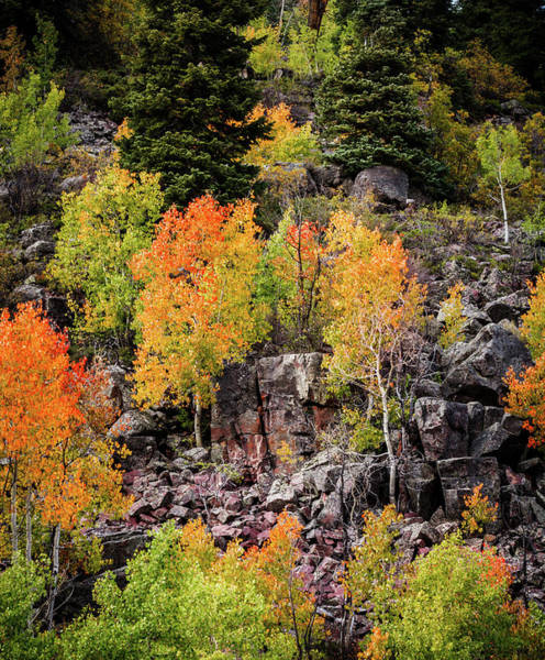 Photograph - Aspens In Autumn Colors by TL Mair