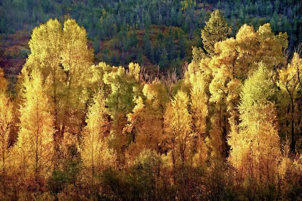 Photograph - Aspens In Autumn I by Leda Robertson