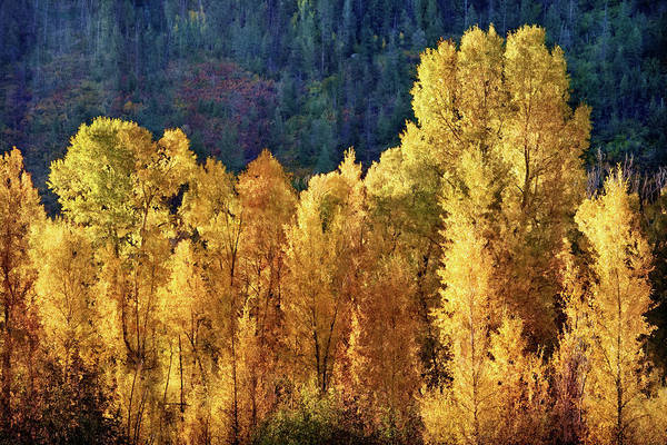 Photograph - Aspens In Autumn II by Leda Robertson