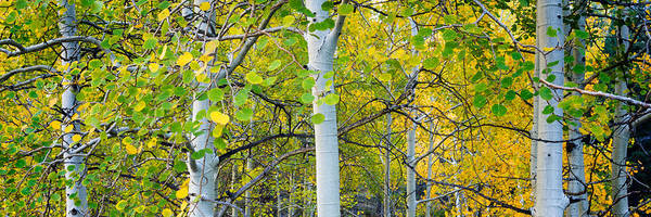 Wall Art - Photograph - Aspens In Autumn Panorama 2 - Santa Fe National Forest by Brian Harig