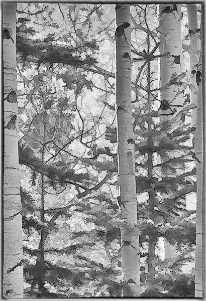 Photograph - Aspens In Black And White by Charles Muhle