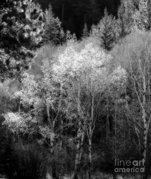 Aspens In Morning Light  For Traci Art Print