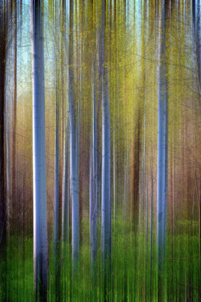 Wall Art - Photograph - Aspens In Springtime by Rick Berk