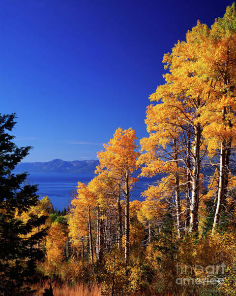 Wall Art - Photograph - Aspens In The Fall Lake Tahoe by Vance Fox