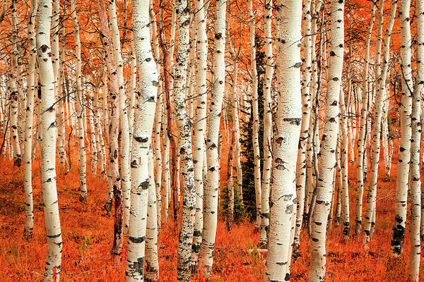 Photograph - Aspens In The Wasatch Back. by Johnny Adolphson