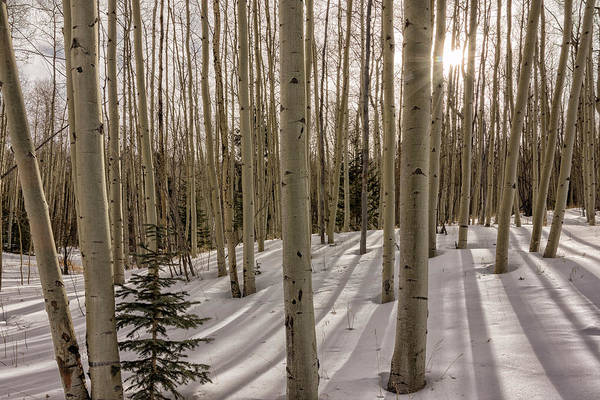 Wall Art - Photograph - Aspens In Winter 2 - Santa Fe National Forest New Mexico by Brian Harig