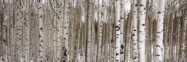 Natural Photograph - Aspens In Winter Panorama - Colorado by Brian Harig