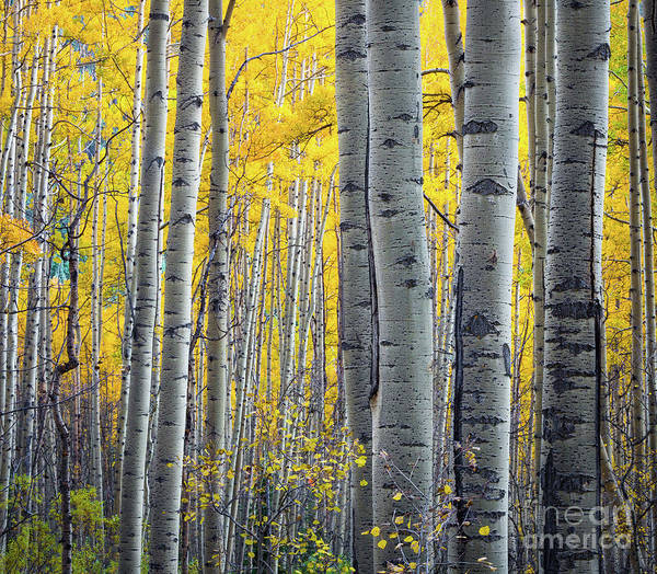 Wall Art - Photograph - Aspens by Inge Johnsson