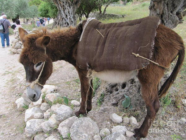 Photograph - Ass From Nazareth Village by Donna L Munro