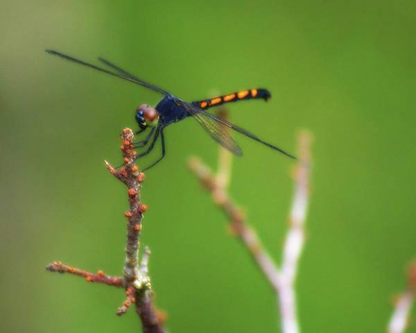 Photograph - Assateague Island Dragonfly by John Feiser