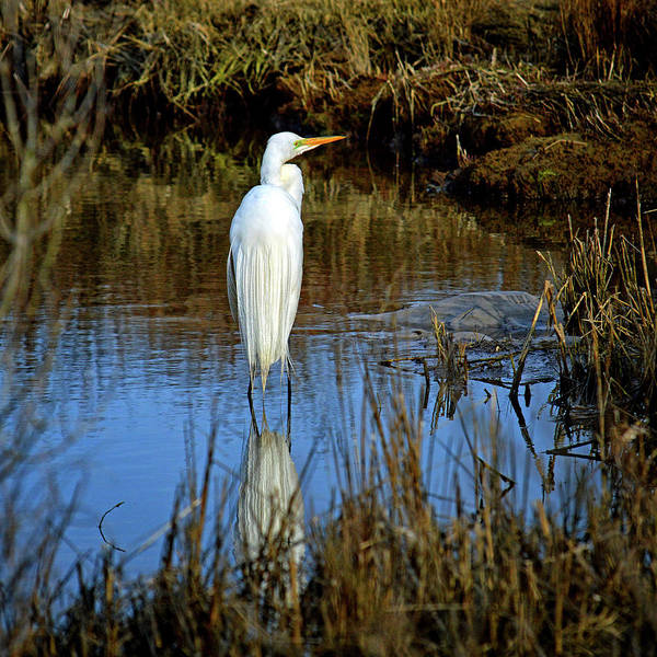 Photograph - Assateague Island Great Egret Ardea Alba by Bill Swartwout Photography