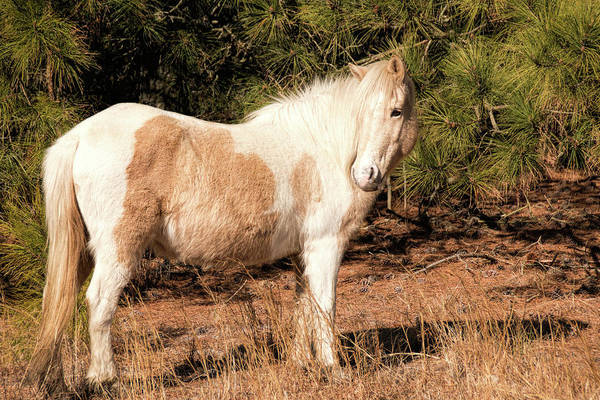 Photograph - Assateague Pony Mare by Kristia Adams