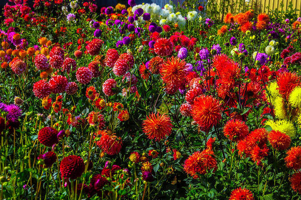 Wall Art - Photograph - Assorted Dahlias by Garry Gay