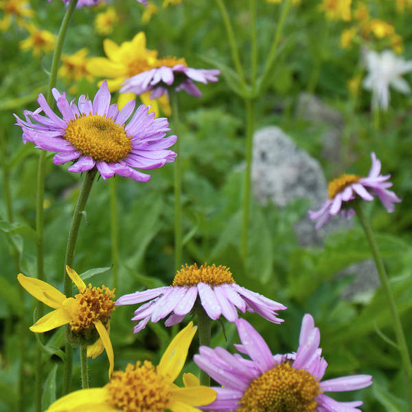 Photograph - Aster And Arnica Wildflowers by Cascade Colors