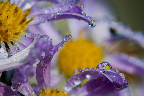 Photograph - Aster And Dew by Robert Potts