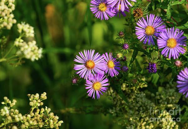 Photograph - Aster Flowers by Les Palenik