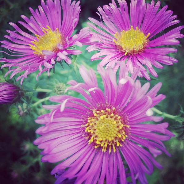 Aster Photograph - Aster by Jeff Klingler