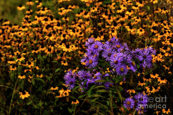 Photograph - Asters And Black-eyed Susans by Thomas R Fletcher