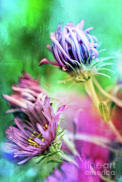 Photograph - Asters Gone Wild 2 by Anita Pollak