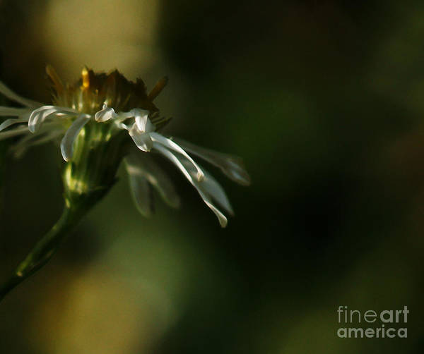Photograph - Aster's Peripheral Ray by Linda Shafer