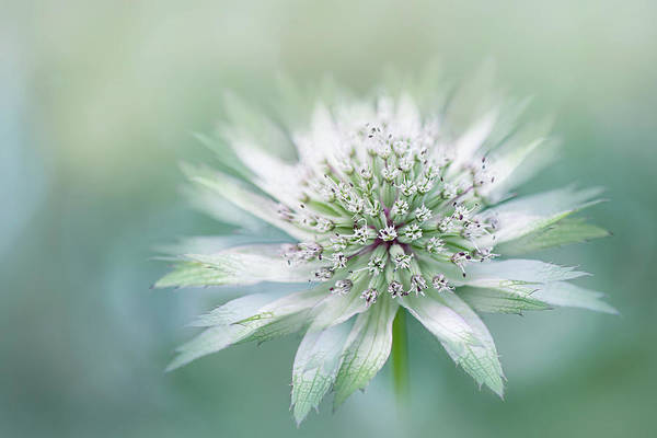 Astrantia Photograph - Astrantia by Jacky Parker