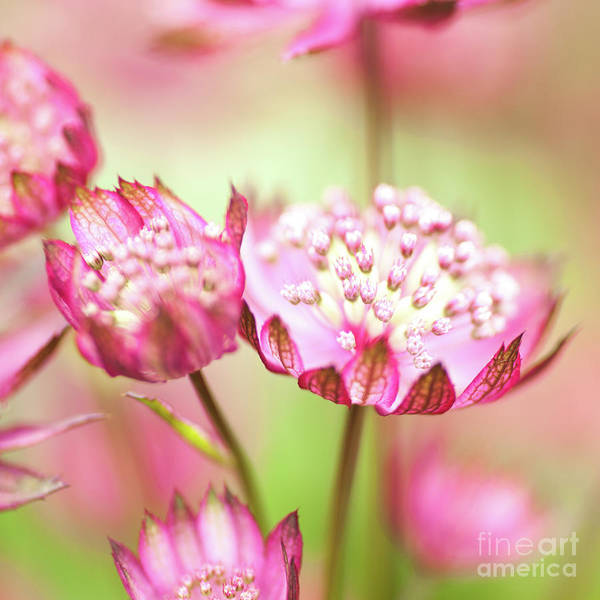 Astrantia Photograph - Astrantia Major by Martin Williams