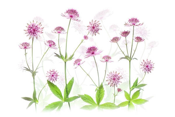 Astrantia Photograph - Astrantias by Jacky Parker