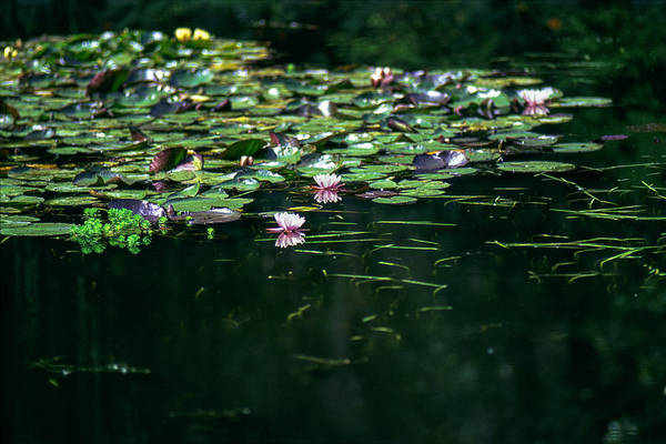 Photograph - At Claude Monet's Water Garden 8 by Dubi Roman