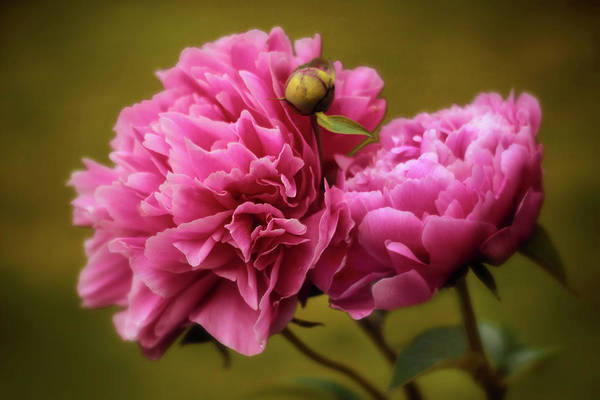Peonies Photograph - At First Blush by Jessica Jenney