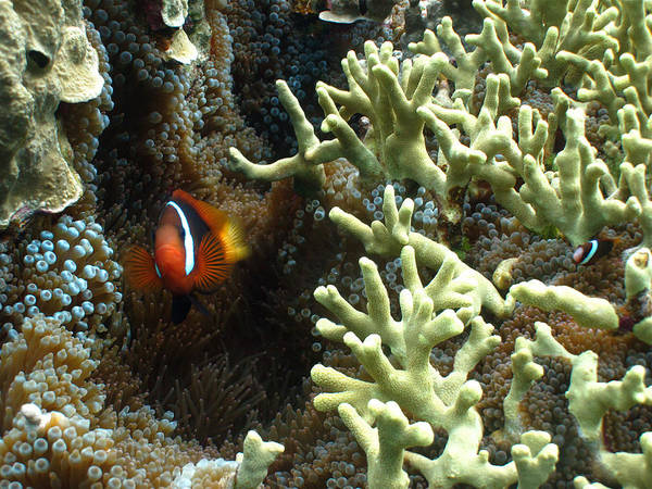 Clownfish Wall Art - Photograph - At Home On The Reef by Brian Governale
